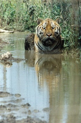 Bengal tiger In your face