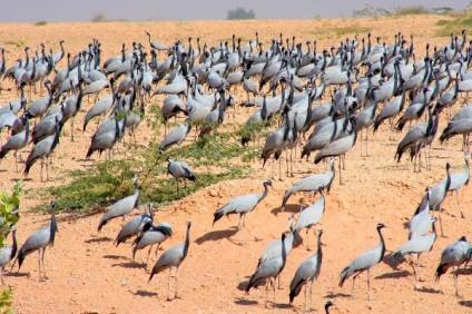Demoiselle Cranes, Rajasthan