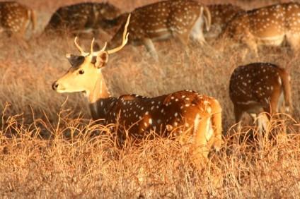 Chital Deer, Rajasthan