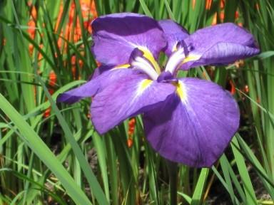 N - Canada - Butchart Gardens purple lily