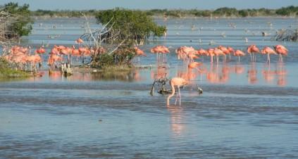 Flamingoes, Yucatan Peninsual, Mexico