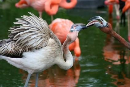 Aggressive juvenile flamingo, Florida
