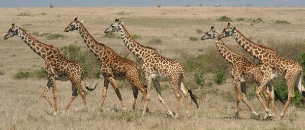 Masai giraffe on the Mara