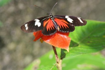 WL - Panama - Butterfly & Hot Lips