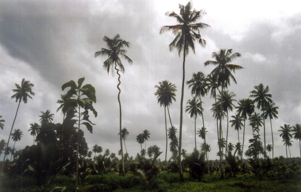 L - Tanzania - Lightning tree Zanzibar