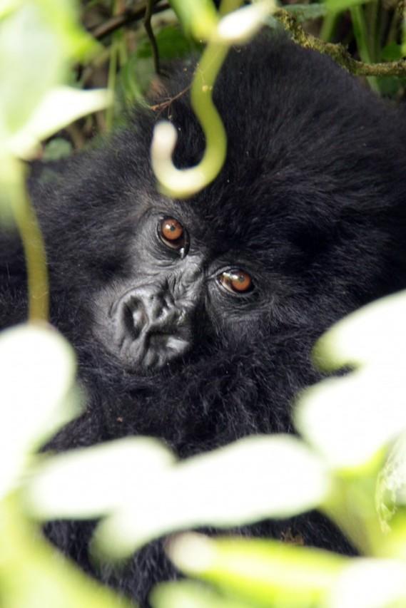 Gorilla soul, Virunga Mountains, Rwanda