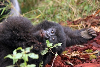 Relaxing after play and....salt! Virunga Mountains, Rwanda
