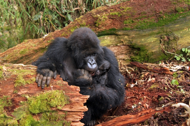 Mother Mountain gorilla eating rotting wood for....salt! Virunga Mountains, Rwanda