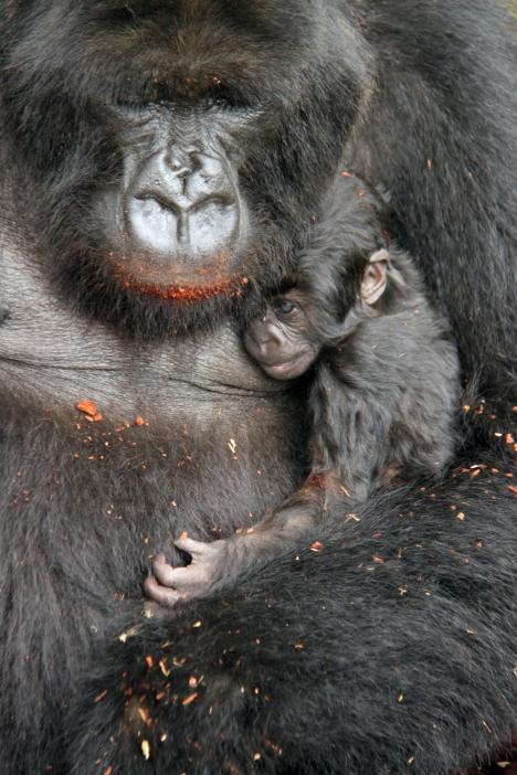 Mother love: Gorilla gorilla berenji, Rwanda