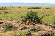 Four lion cubs