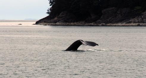 Whale tail, Auke Bay
