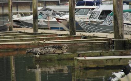 Harbor Seal, Auke Bay Harbor