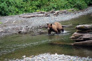 Brown Bear in Pack Creek
