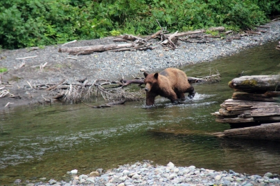 Brown Bear in Pack Creek