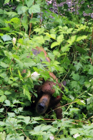 Brown Bear hunting for berries (Note; this image was NOT shot with a zoom lens...) Alaska
