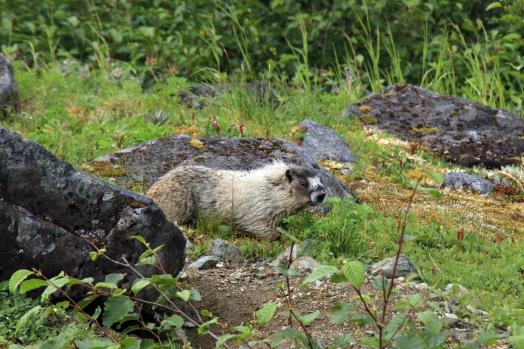 Hoary Marmot, Mt. Roberts, Juneau