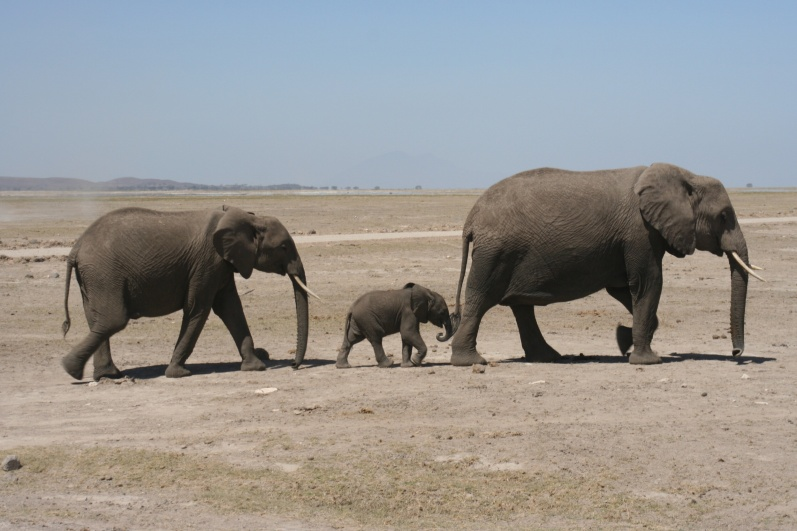 Elephant mother love, Masai Mara