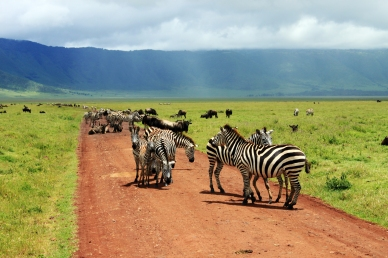 Zebra & Cape Buffalo, Ngorongoro Crater, Tanzania
