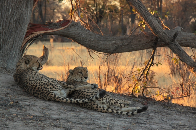 Cheetah brothers shaded by the tree