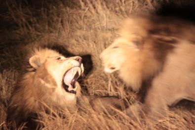 Lions - not tonight honey