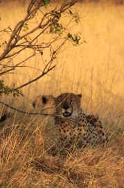 Cheetah brothers relaxing after the hunt