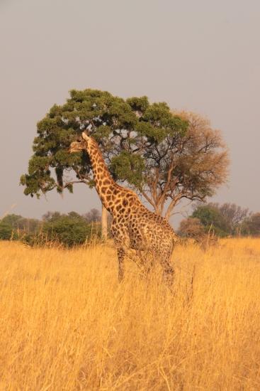 Elegant giraffe in grassy field