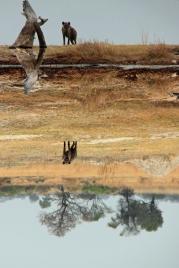 Hyena reflected