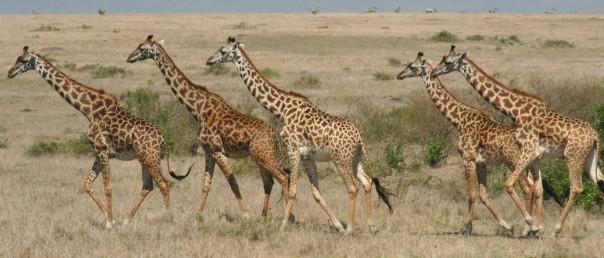 Running giraffes, the Masai Mara