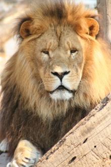 Scar the lion