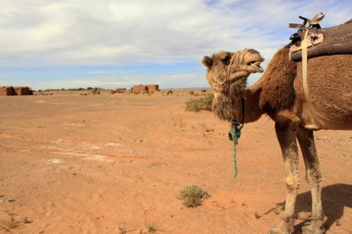 My camel waiting outside Zahra's Black Desert compound