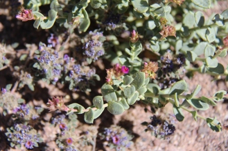 Tiny desert flowers