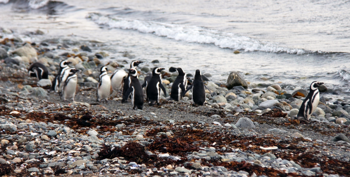 peguins cropped