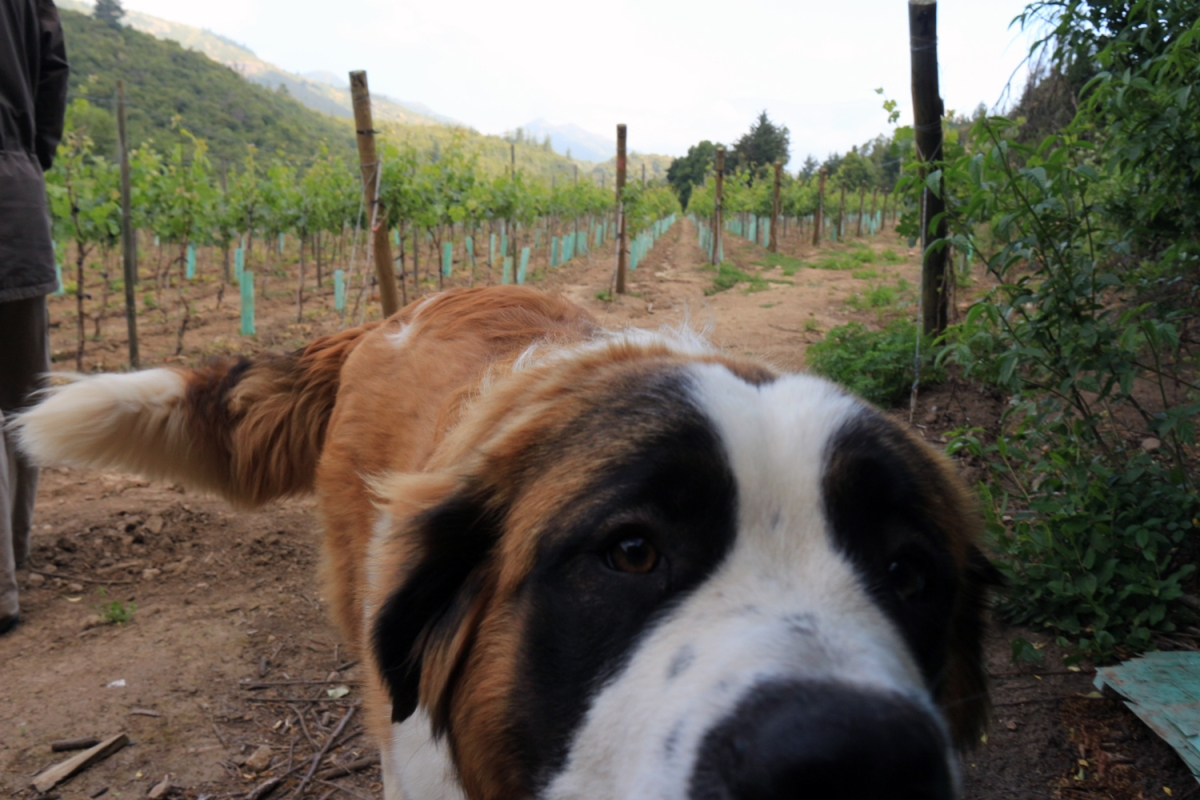 Vinyard tour with the dogs