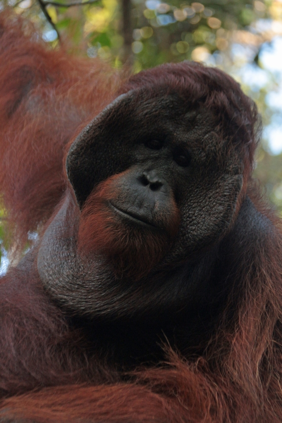 Check out the cheek pads on this dominate orangutan, Pondok Tangui (yes he was THAT close!)
