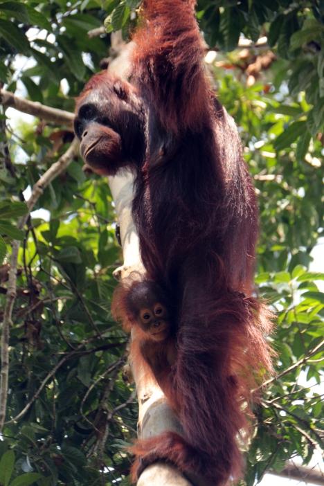 Mom & babe orangutan