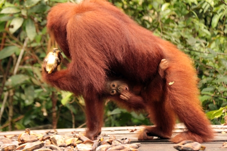 mom-baby-orang-on-the-banana-feeding-station