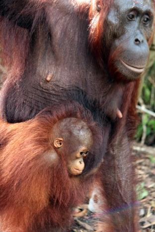 Tired baby orang, Tanjung Putin NP, Borneo
