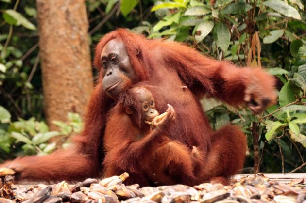 Mom & juvenile orangutan