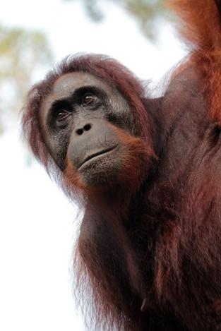Older orangutan, Tanjung Puting NP Borneo