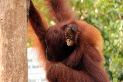 Mother & infant orangutan