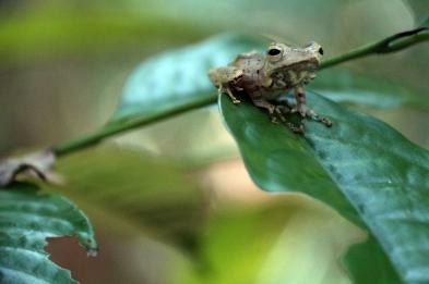 Tree frog, Borneo