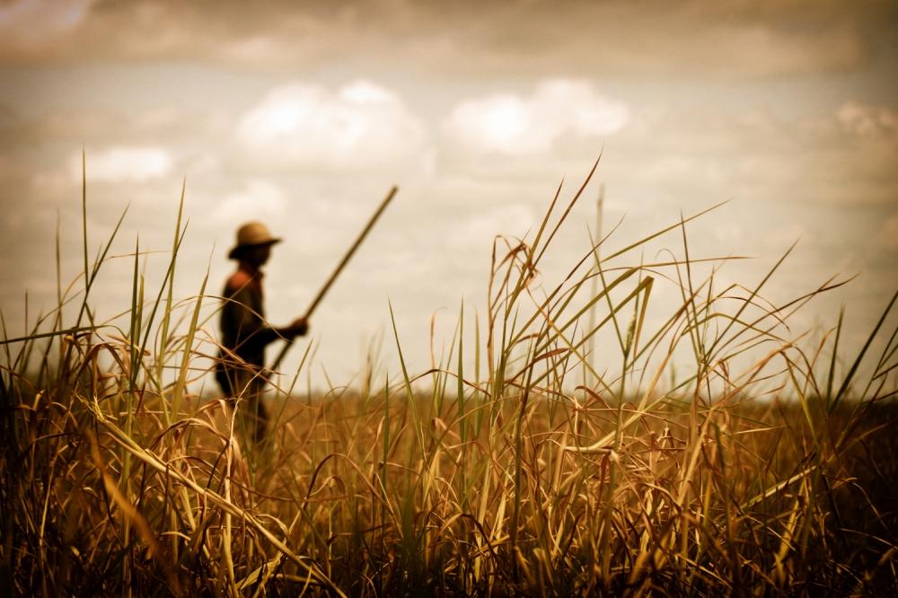 Golden fields_RMG.BAA
