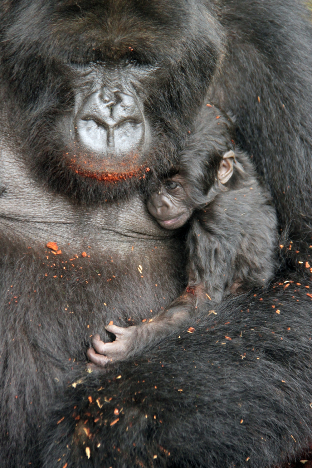 Gorilla love - Mom with her 3 week old.lr