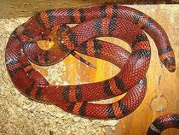 Milk Snake (Adult)