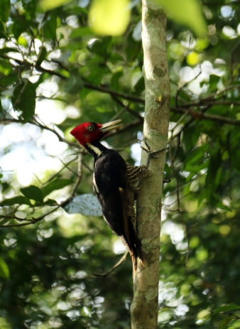 Pale-billed woodpecker (El Mirador)