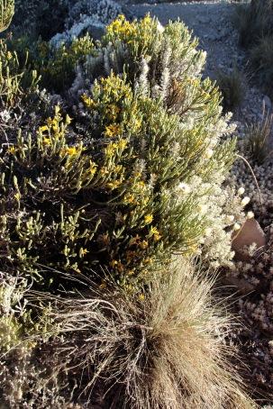 Alpine desert plants