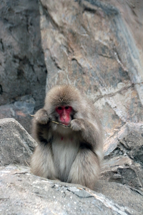 Tool use by Japanese Macaque