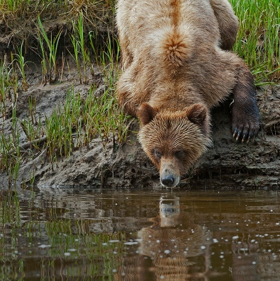 Reflecting bear_Bickle