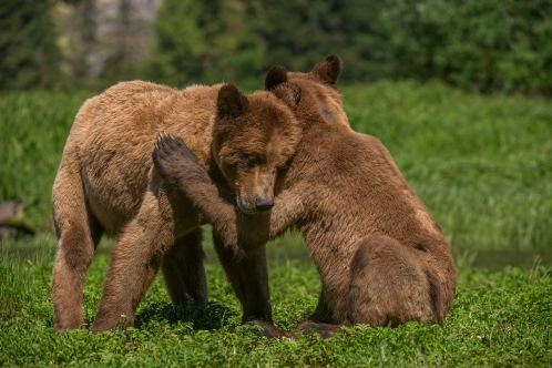 Playful bears_BIckle