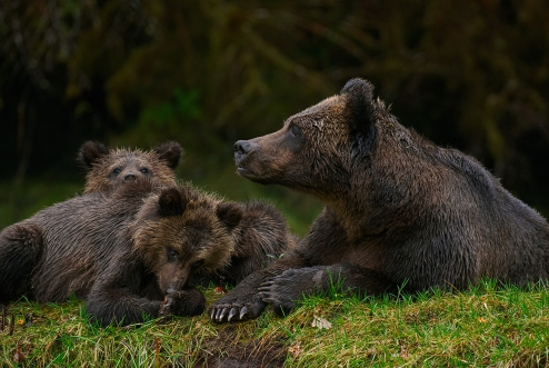 Mama bear and cubs_Bickle